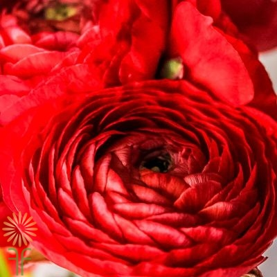 wholesale flowers | ranunculus tecate red