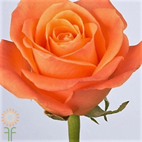 wholesale flowers | rose amazon