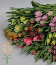 Tulips, Holland -Rainbow 100 Stems