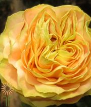 Yellow Turtle Garden Roses