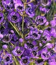 Waxflower-purple