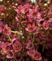 Red Pearl Waxflower (budded)
