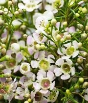 Waxflower-white