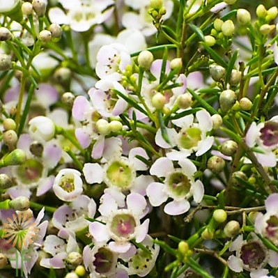 wholesale flowers | waxflower