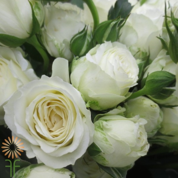 White Lace Spray Rose