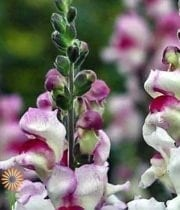 Snapdragons-white/purple