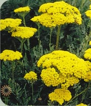 Yarrow, Tall-yellow