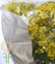 Acacia, Mimosa, Bagged-yellow