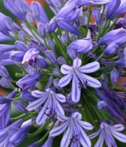 Wholesale Agapanthus Blue