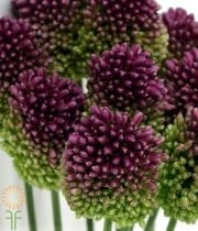 Purple Bullit Allium