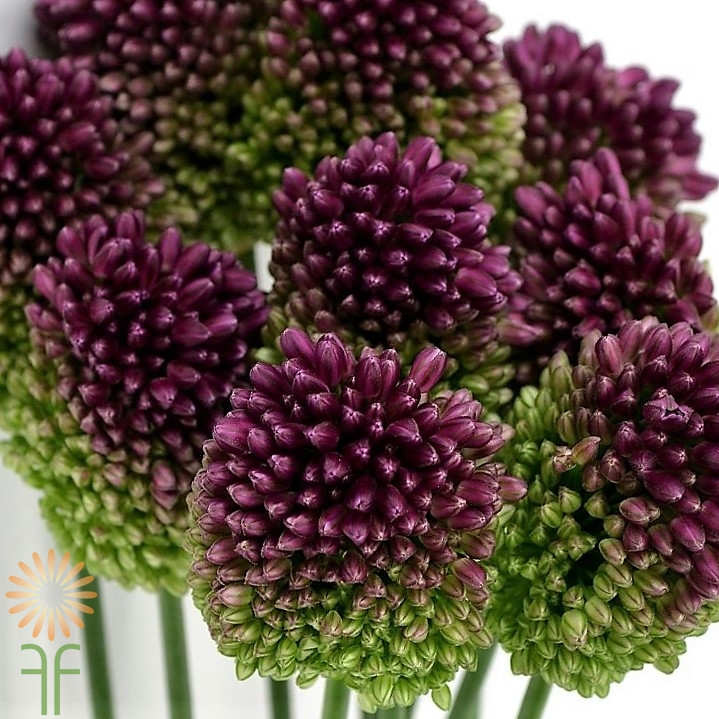 Wholesale flowers allium bullit purple