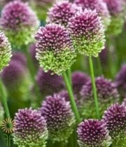 Allium, Drumstick-purple