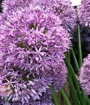 Allium, Gladiator-purple