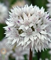 Allium, Golfball-white