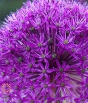Allium, Purple Sensation-purple