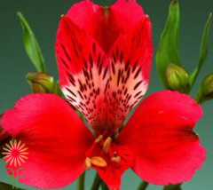 wholesale alstroemeria red