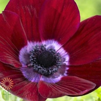 wholesale anemone-burgundy