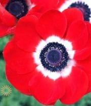 Red Anemones