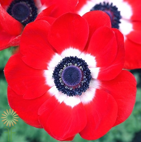 anemone-red wholesale