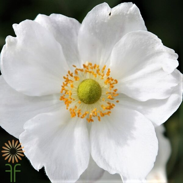 wholesale anemone-white-light-center