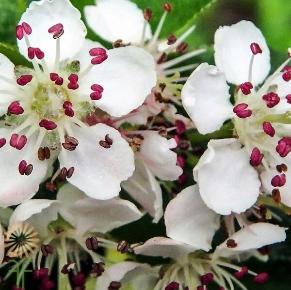 wholesale flowers | aronia-blooming