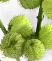 Asclepia Pods