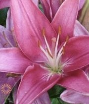 Lily Asiatic-mauve