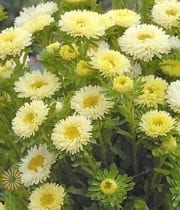 Yellow Matsumoto Asters