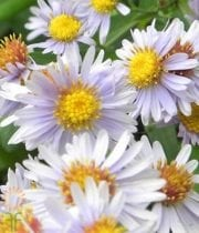 White Montecasino Asters