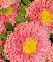 Peach Matsumoto Asters