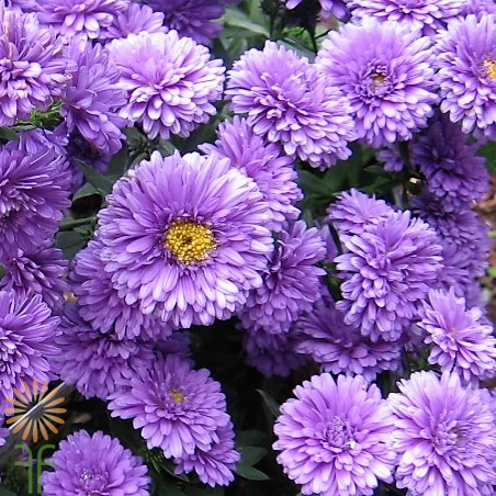 wholesale flowers | aster-purple