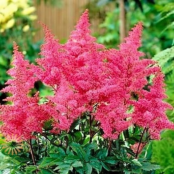 wholesale hot pink astilbe