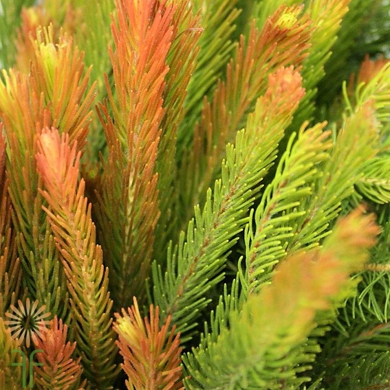 wholesale aussie_pine