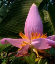 Banana Flower-purple