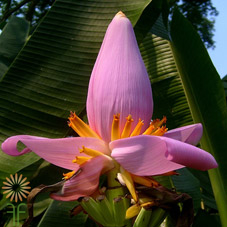 wholesale banana-flower