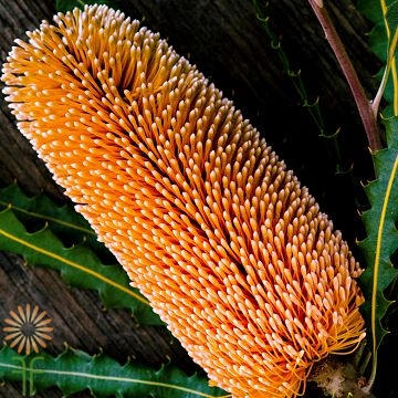 wholesale flowers | protea- banksia orange