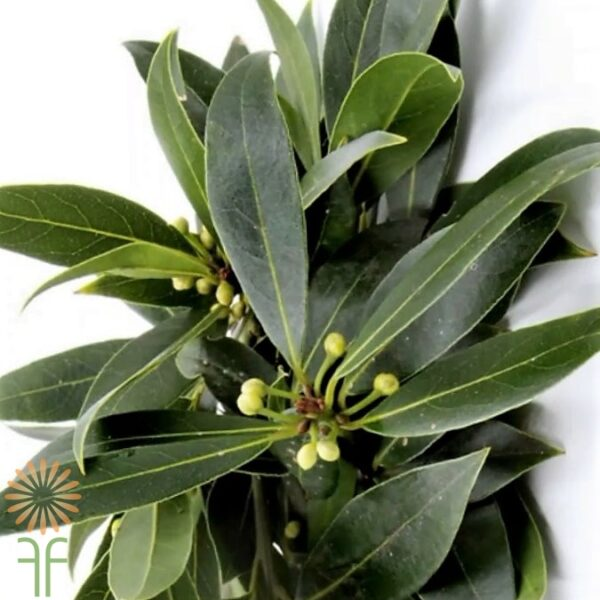 bay-leaves-wholesale