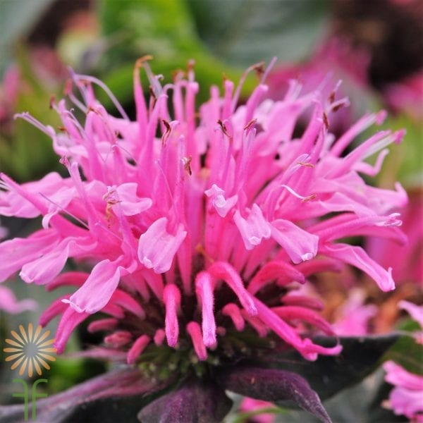 wholesale bee-balm-pink