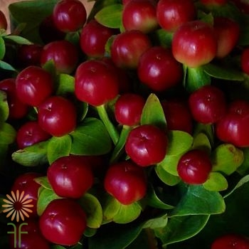 wholesale flowers | Hypericum -red