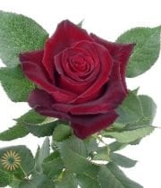 Burgundy Black Baccara Rose