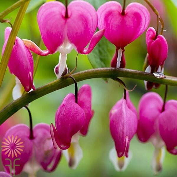 wholesale bleeding-heart-pink