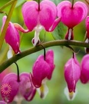 Bleeding Heart-pink