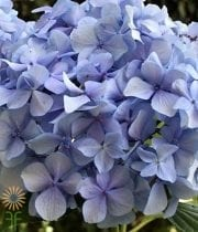 Light Blue Hydrangeas, Jumbo