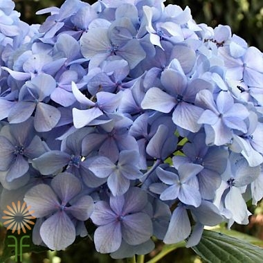 wholesale flowers | Hydrangea -jumbo blue