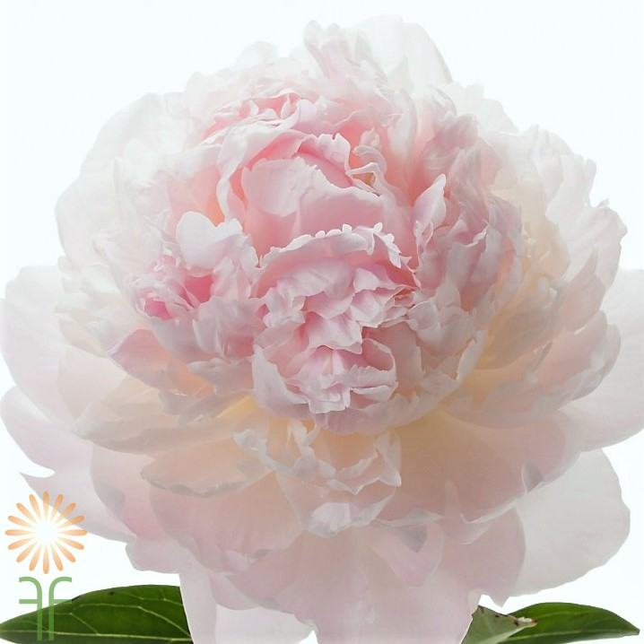 Image result for blush peony