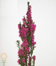 Hot Pink Boronia
