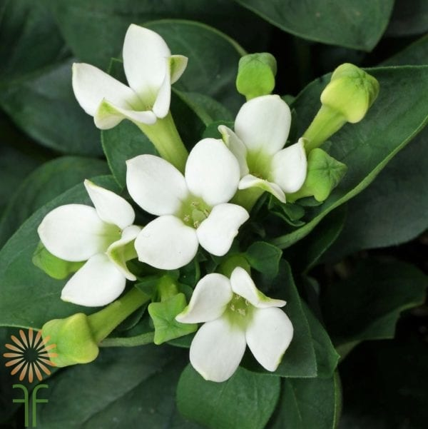 bouvardia-white wholesale