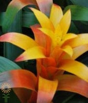 Bromeliad, Torch-yellow