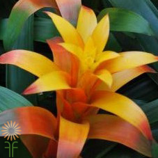 wholesale flowers | bromeliad yellow