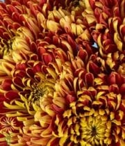 Bronze Disbud China Mums